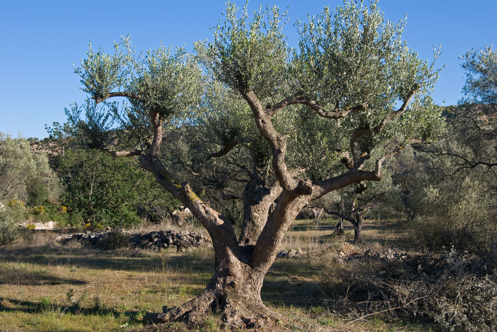 How to prune an olive tree beatiful tree for Olive arbequina care